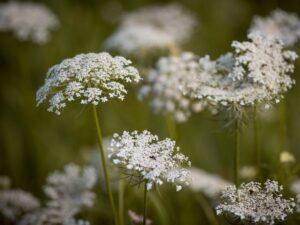 ニンジン・花の画像