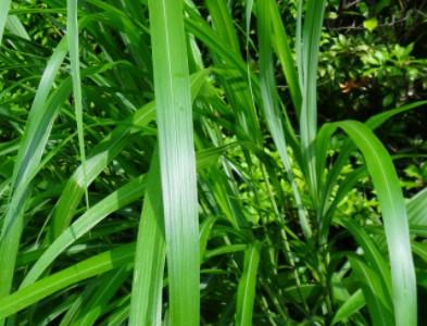 ススキの葉の画像
