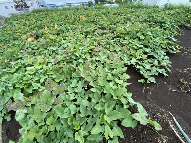 さつま芋畑の画像