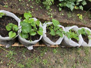 さつま芋栽培の画像
