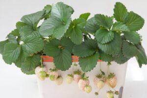白イチゴ栽培の画像