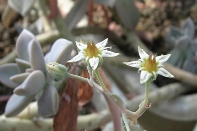 グラパラリーフの花