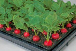 ラディッシュ栽培の画像