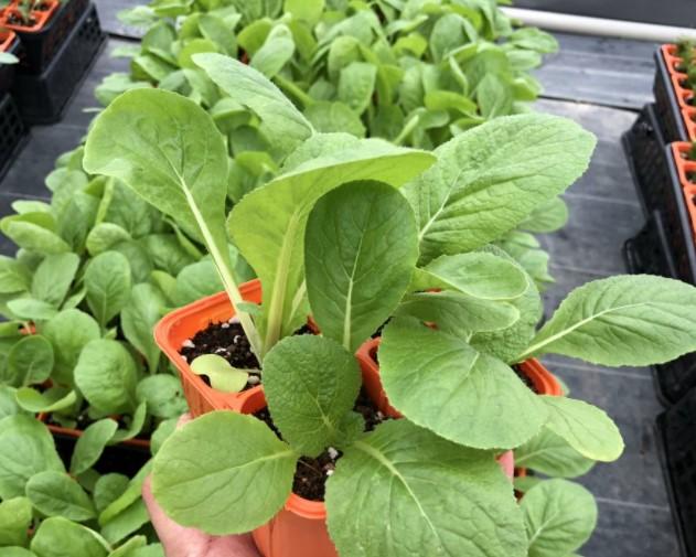 ミニ白菜の苗づくりの画像