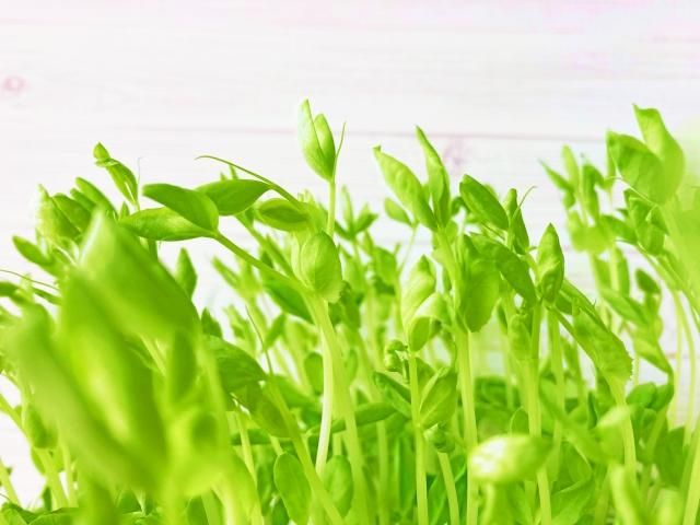 えんどう豆の苗の画像