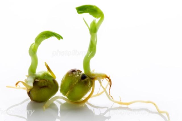 芽が出たえんどう豆の画像