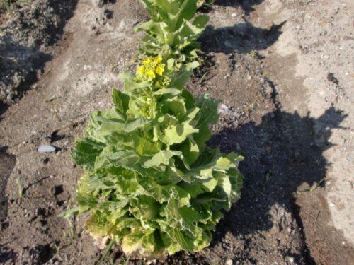 白菜の花の画像