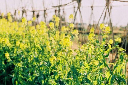 春の畑の画像
